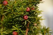 European Yew Closeup, Taxus Baccata Or European Yew Shoots With Mature And Immature Cones Close-up V poster