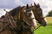 stock photo of clydesdale  - Matching team of bay Clydesdales with white blazes - JPG