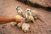 Meerkats On White Background. African Wildlife. Wildlife Animal. poster