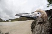 Juvenile Red-footed Booby by Beach on Christmas Island