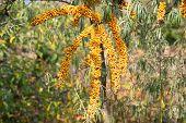 Branch Of Orange Sea Buckthorn Berries. Sea-buckthorn (hippophae Rhamnoides) On The Tree .sea Buckth poster