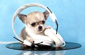 puppy chihuahua music lover
