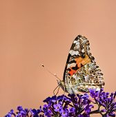 picture of butterfly-bush  - Closeup of Painted Lady butterfly  - JPG