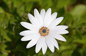 Single white gerbera daisy