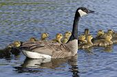 image of mother goose  - Goose with over a dozen young goslings on the bay