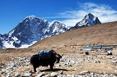 stock photo of yaks  - yak in Himalaya - JPG
