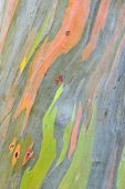 foto of eucalyptus trees  - Colorful Abstract Pattern Of Eucalyptus Deglupta Tree Bark - JPG