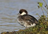Female Smew Duck