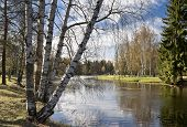 Spring Birches Next To The Pond