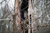 Barred Owl In A Dead Tree