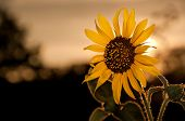 Wild Sunflower, Helianthus annuus, against sunset