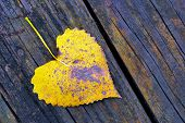 stock photo of cottonwood  - An autumn Cottonwood Leaf laying on a wood board.