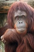 picture of orangutan  - Adult Sumatran Orangutan staring back at the photographer