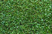 pic of extreme close-up  - Extreme Close-Up of Freshly Cut Green Privet Hedge