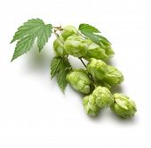stock photo of fermentation  - branch of hops on a white background - JPG
