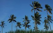 Coconut trees blown away