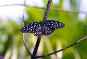 Danaus Vulgari Butterfly 1040