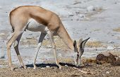 picture of excrement  - Side view of Springbok smelling excrements in Namib - JPG