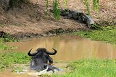 Buffalo and Crocodile
