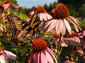 Swallowtail Butterfly On Echinacea