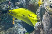 yellow  moray fish in coral reef