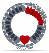 stock photo of ovulation  - Menstrual cycle graphic - JPG
