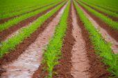 Freshly Irrigated Corn Field