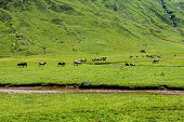 Cows In Echo's Valley, Huesca, Spanish Pyrenees