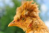 Funny Red Crested Chicken Close-up
