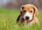 Cute Little Beagle Puppy Playing In Grass