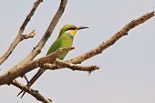 Bee-eater - Colorful Wild Bird Background from Africa - Beautiful Colors