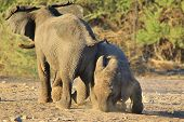 Elephant, African - Wildlife Background from Africa - Nose in the Ground and Playful games