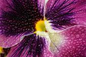 Beautiful Purple Pansy Violet Flower With Water Drops