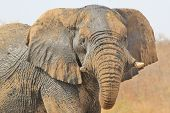 Elephant, African - Wildlife Background from Africa - Protective sun screen and Powerful Stare