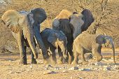 Elephant, African - Wildlife Background from Africa - Shove of Love