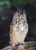 Eurasian Eagle Owls - Bubo Bubo