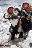Black-and-white Nepalese Yak With Two Gas Cylinders ,himalaya Mountains,everest Region