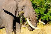 African Elephant Feeding. Kruger National Park
