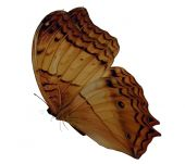 Brown Gold Butterfly