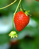 Strawberry Ready For Harvest