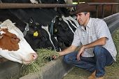 stock photo of dairy barn  - Farmer feeding cows with hay on the farm