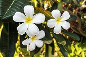 White Plumeria Or Frangipani Blossom On The Plumeria Tree.