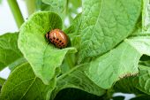 stock photo of potato bug  - Colorado potato beetle on a green leaves - JPG