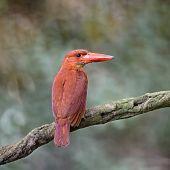 Female Ruddy Kingfisher