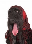 Black Russian Terrier (brt Or Stalin's Dog)