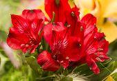 Spring Lilly Bouquet Of Alstromeria