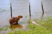 Flooded Farm With Capibara And Cayman, Pantanal, Mato Grosso (brazil)