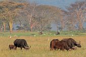 Grazing African buffalos (Syncerus caffer) with egrets, Lake Nakuru National Park, Kenya