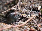stock photo of field mouse  - A little mouse in the forest looking for food - JPG