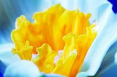 Macro image of spring flower, jonquil, daffodil. Delicate calyx, petals